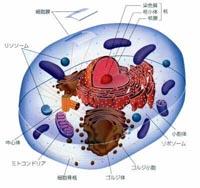 ミトコンドリアの母性遺伝