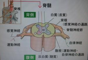 大切な背骨と骨髄~肩甲骨との関係~