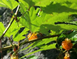 モミジのような葉を持つ「もみじいちご」 ぷちっと感がかわいい♪