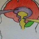 黄色い部分が「脳幹」