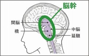 Brain stem 脳幹